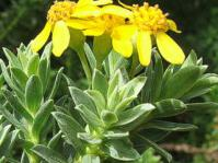Euryops tysonii foliage and flowers