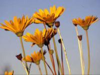 Euryops wageneri flowers