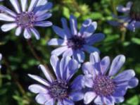 Felicia heterophylla