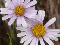 Felicia erigeroides flower heads