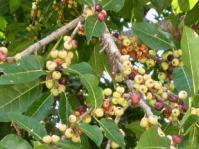 Fruiting branch