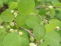 Flueggea virosa leaves & fruit