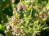 Freylinia densiflora