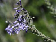 Freylinia undulata