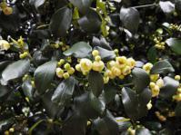 Garcinia gerrardii male plant