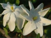 Gardenia volkensii flowers