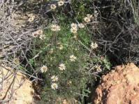 Garuleum bipinnatum plant