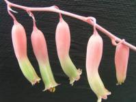 Flowers of Gasteria batesiana