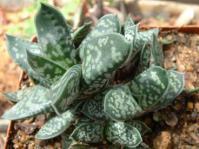 Gasteria bicolor var. liliputana