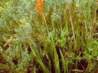 Gasteria pulchra plant