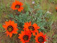 Gazania rigida in flower