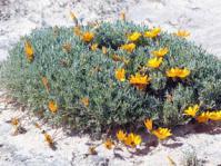 Gazania splendidissima subshrub
