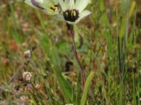 Geissorhiza purpureolutea