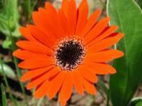 Gerbera aurantiaca
