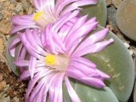 Gibbaeum dispar
