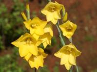 Gladiolus aureus