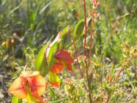 Gladiolus alatus
