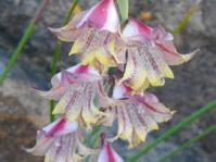 Gladiolus guthriei