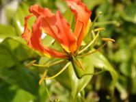 Gloriosa superba in flower
