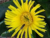Glottiphyllum regium flower