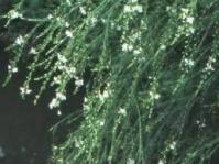 Gomphostigma virgatum overhanging water