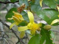 Grewia hexamita.  Copyright Geoff Nichols