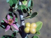 Flowers and fruits of Grewia robusta