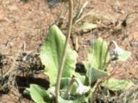 Haplocarpha scaposa