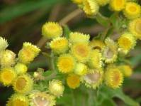 Helichrysum foetidum inflorescence