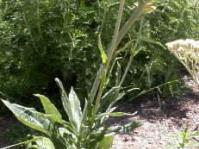 Helichrysum nudifolium