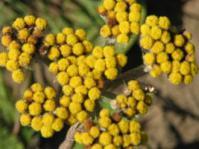 Helichrysum nudifolium var. pilosellum flower head