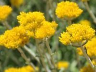 Helichrysum cymosum subsp. cymosum