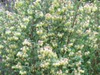 Bush in flower