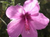 Hibiscus pedunculatus flower