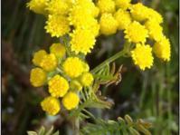 Corymb of flowers. Image N van Berkel