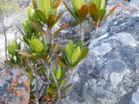 A young gifboom growing among sandstone rocks