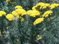 Hymenolepis crithmifolia