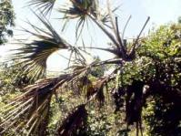 lala palm