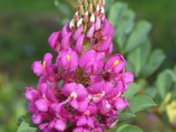 Hypocalyptus coluteoides flower head