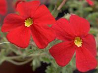 Jamesbrittenia bergae flowers