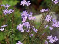 Jamesbrittenia grandiflora
