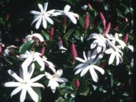 Jasminum multipartitum