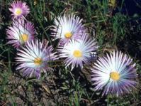 Jordaaniella anemoniflora