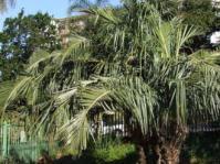 Jubaeopsis caffra tree