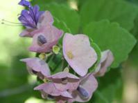 Karomia speciosa flower cluster