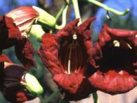 Flowers of Kigelia africana