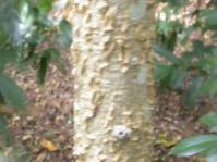 Kirkia acuminata trunk