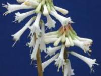 Kniphofia leucocephala