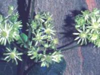 Unusual flowers resembling green buttercups