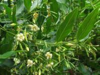 Kraussia floribunda foliage and flowers